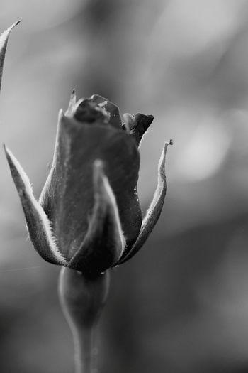 Family Mall 2 😚 Roses Rose🌹 Blackrose First Eyeem Photo Open Edit OpenEdit Siyahbeyaz Bkackandwhite Black & White EyeEm Best Edits EyeEm Best Shots EyeEm Gallery