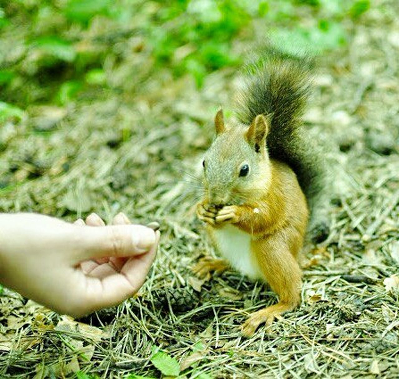 mammal, rodent, squirrel, human hand, one animal, animal themes, animal, grass, holding, human body part, animal wildlife, nature, day, outdoors, animals in the wild, close-up, pets, child, one person, people