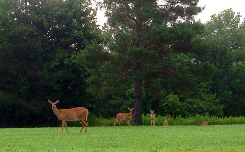 Deer Nature Streamzoofamily StreamzooPics