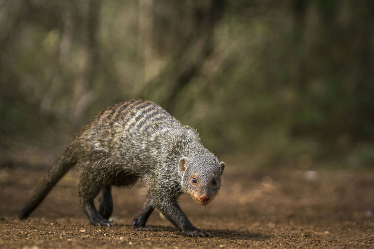 Full length of mongoose walking in forest