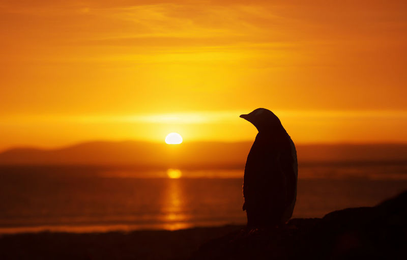 Silhouette bird on rock against orange sky