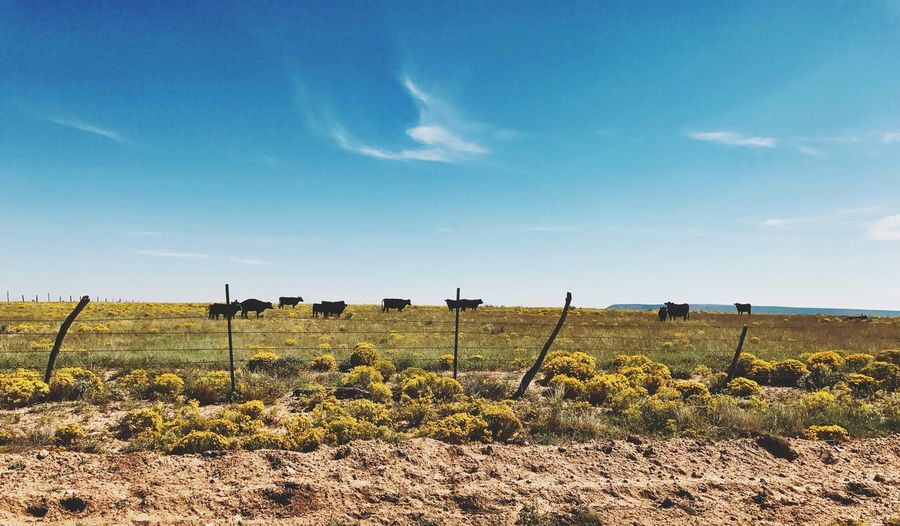 """""""Where The Cattle Roam"""" Cattle country in The Central Highlands of New Mexico, USA, on the open range and wide plateaus they roam. Landscape Sky Blue Rural Scene Cattle Cattle Ranch Ranching Rural Rural Scenes Scenics Newmexicophotography Newmexico Newmexicoskies NewMexicoTRUE"""
