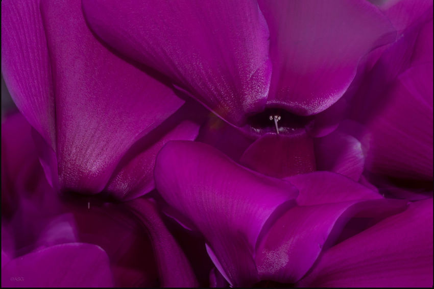 Purple Cyclamen leaves - 11/3/18 Malephotographerofthemonth EyeEmNewHere Beauty & Design In Nature The Purist (no Edit, No Filter) Close-up Flowering Plant