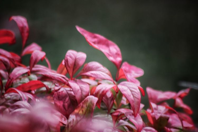 Close-up of pink flowering plant leaves