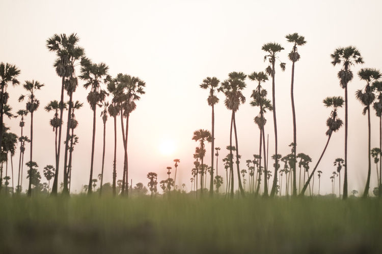 Sugar palm sunset in Thailand Plant Tree Growth Sky Nature Beauty In Nature Land Grass Field Tranquility Palm Tree Tranquil Scene Tropical Climate Scenics - Nature Outdoors Day Environment Sunset Standing Non-urban Scene