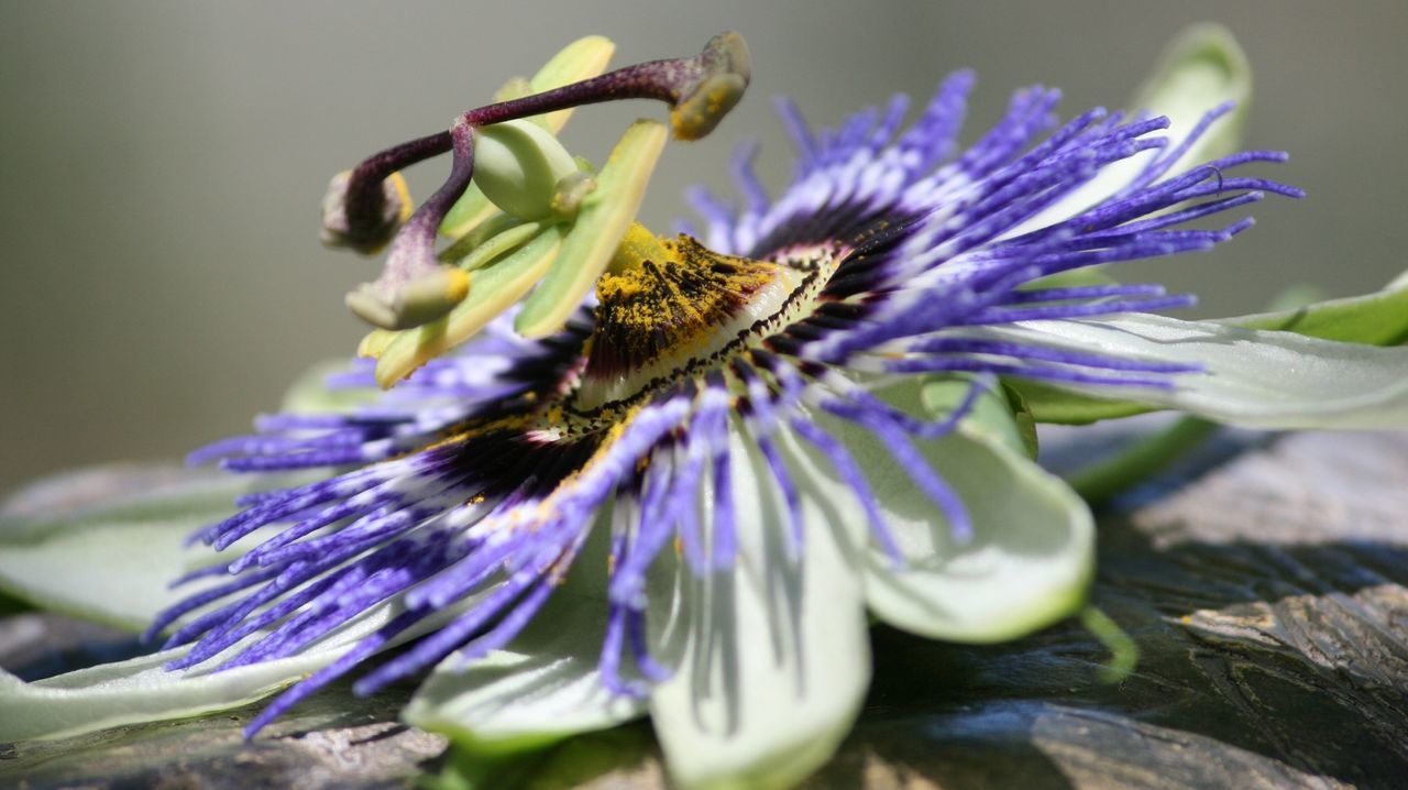 Close-Up Of Passion Flower On Wood