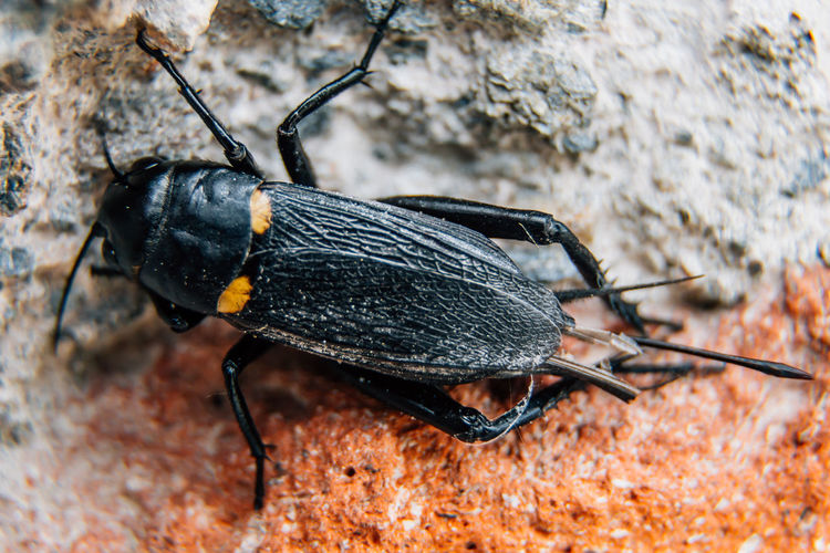 Cricket on a brick wall Brick Wall Wall Wing Animal Animal Antenna Animal Themes Animal Wildlife Animals In The Wild Black Black Color Black Cricket Close-up Cricket Insect Invertebrate Macro Nature One Animal Pest