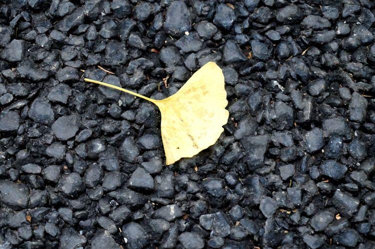 Leaf Gingo Gingo Leaf Yellow Nature