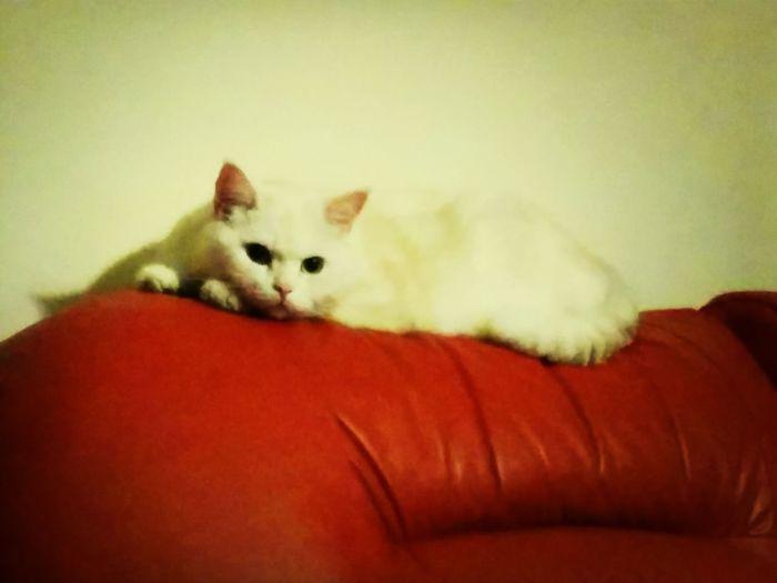 White beast Cute Pets