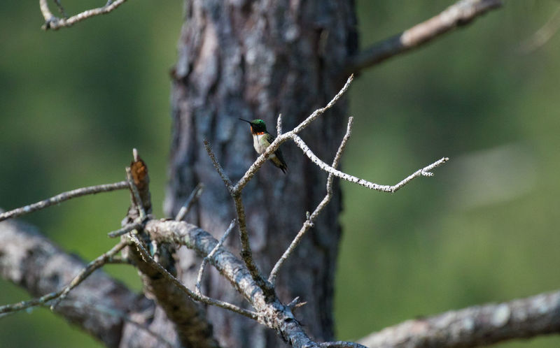Hummingbird in tree Animal Animal Themes Animal Wildlife Animals In The Wild Beauty In Nature Bird Branch Close-up Day Focus On Foreground Lichen Nature No People One Animal Outdoors Plant Selective Focus Tree Twig Vertebrate Winter