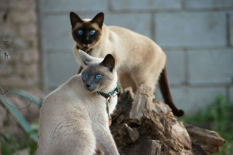 Close-up of two cats with blue eyes