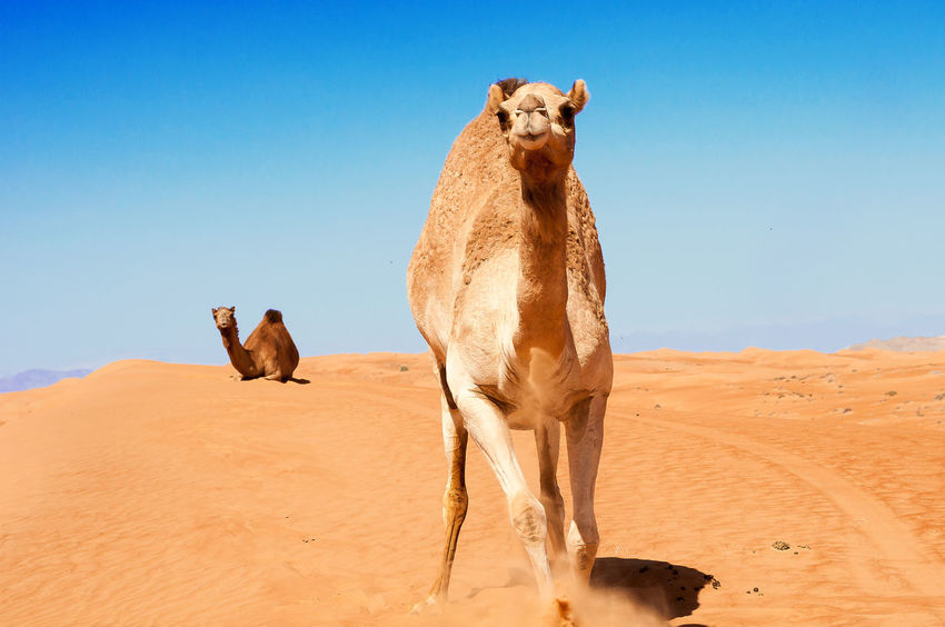 Dromedary in Oman desert Animal Themes Arid Climate Beauty In Nature Blue Brown Camel Clear Sky Day Desert Dromedary Landscape Mammal Nature Non-urban Scene Oman Outdoors Sunlight