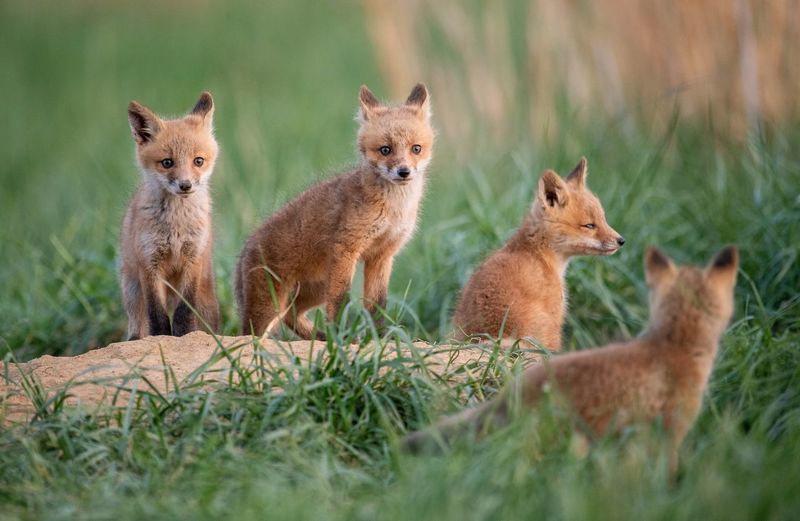 Fox Pups On Grassy Field