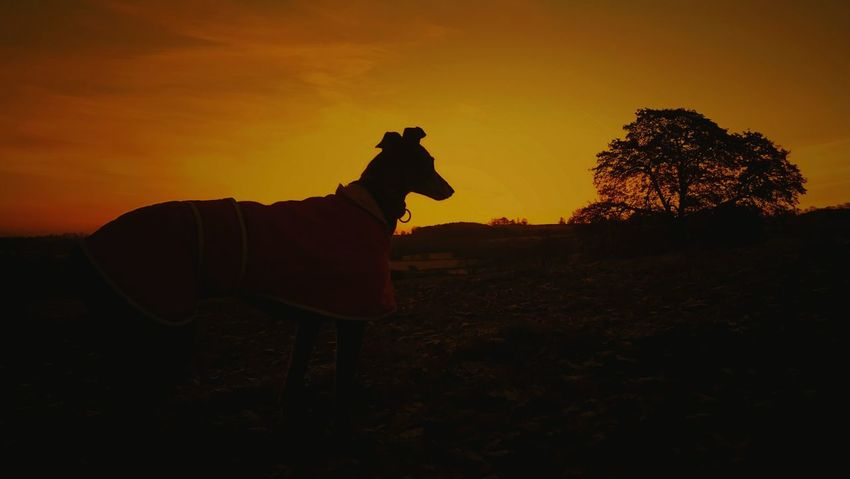 Silhouette One Animal No People Nature Sunrise - Dawn EeyemBestEdits EyeEm Best Shots Nature Sunrise_sunsets_aroundworld Eeyem Photography Beauty In Nature Animal Themes Sillouettes Dog❤ Dogs Animals Greyhounds
