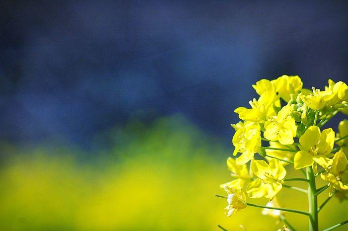 背景のボケかたが好み。 EyeEm Nature Lover Colorful Bokeh Colors EyeEm Flower Bokeheffect Flowers Flower Collection Fleshyplants Yellow Flower Yellow 菜の花