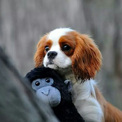 My Favorite Cavalier and Absolutely Favorite picture. A lot of Memories. Cavalier King Charles Spaniel Puppy Cavalier Cavalierkingcharles Puppy Ckcs Cavalierkingcharlesspaniel Happy Methuen