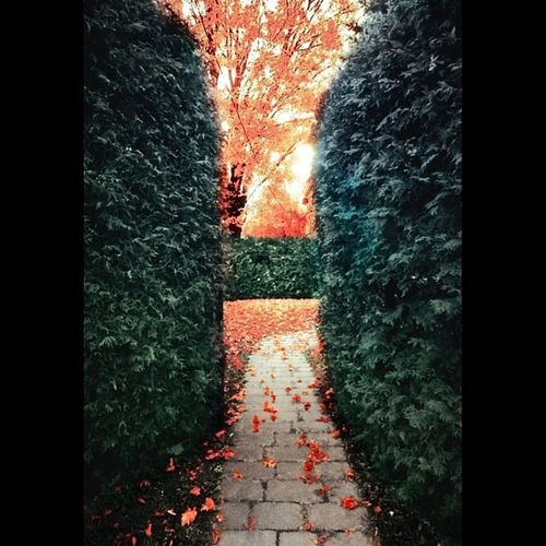 Xperiainvitingroads Instag_colorsplash Leaves Bnwsplash_perfection Autumn Picture_to_keep Fall Colorsplash_fun Path Colorsplash Picoftheday Hedge Instamood Tint Colorsplash_kings Leaveonlyleaves Nothingsordinary Autumn_masters Xperiapictip
