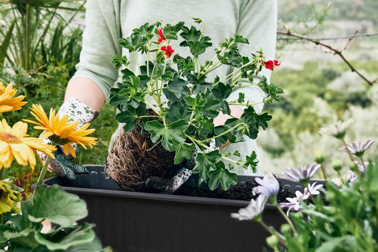 Woman potting geranium flowers in flower pot in the garden. florist gardening outdoors. greenhouse