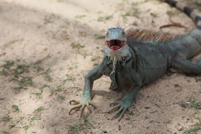 Happy face. Wildlife Iguana Happy Islandlife Check This Out Cheese! Relaxing Posing Animals Smile