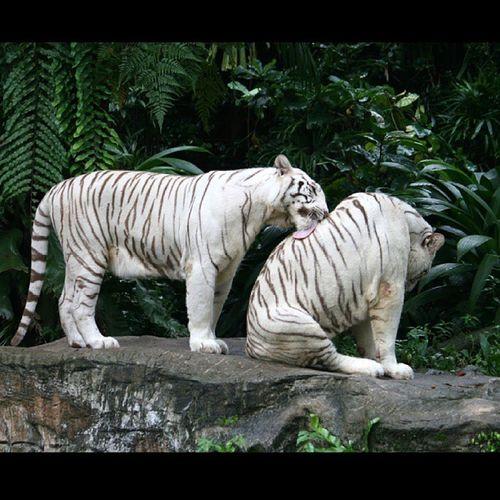'I got your back' Tiger Whitetiger Igotyourback Singapore