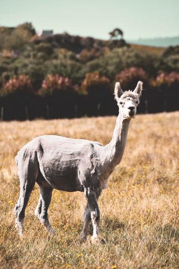 White lama in fieldq1
