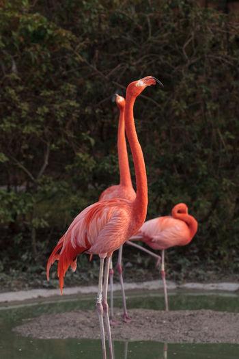 Pink Caribbean flamingo, Phoenicopterus ruber, in the middle of flock flamingos during breeding season in Miami, Florida. Caribbean Flamingo, Pink Flamingo Flamingo Phoenicopterus Ruber Phoenicopterus Ruber Roseus Florida Flamingo Florida Wildlife Florida Bird Bird Long Legs Florida Animal Tall Bird