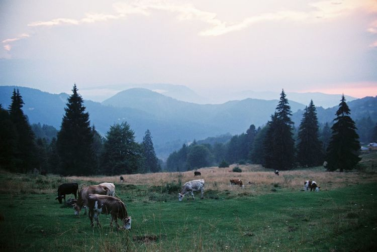 Cows at sunset. Nature Trees Animal Themes Beauty In Nature Cow Cows Domestic Animals Farm Animal Film Photography First Eyeem Photo Grass Grazing Landscape Large Group Of Animals Livestock Mammal Mountain Mountain Range Mountains Nature Outdoors Scenics Sunset Tranquil Scene