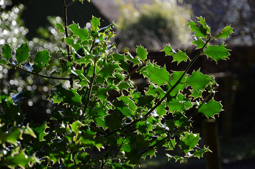 Holly Back Lit Day Focus On Foreground Green Color Growth Leaf Outdoors Plant Plant Part Sunlight