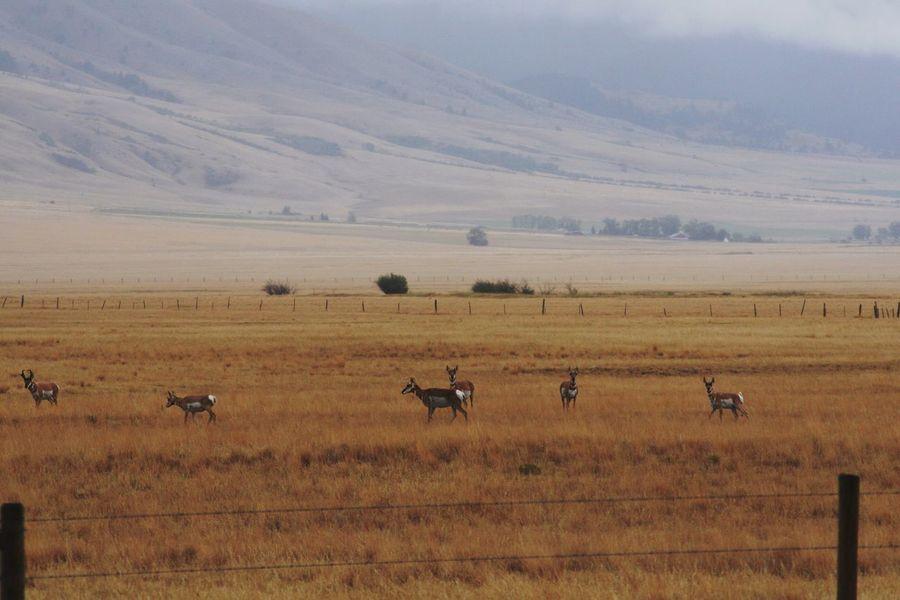 Pronghorn Antelope, Wall Creek Game Range Montana American West Old West  Antelope Wall Creek Game Range Pronghorn Pronghorn Antelope Nature's Diversities Color Palette