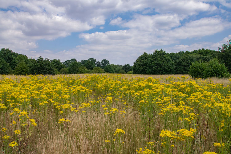 Field of common ragwort wild flowers Field Agriculture Beauty In Nature Cloud - Sky Common Ragwort Countryside Day Environment Field Flower Flowerbed Flowering Plant Growth Land Landscape Nature No People Plant Rural Scene Scenics - Nature Sky Tranquil Scene Tranquility Tree Yellow