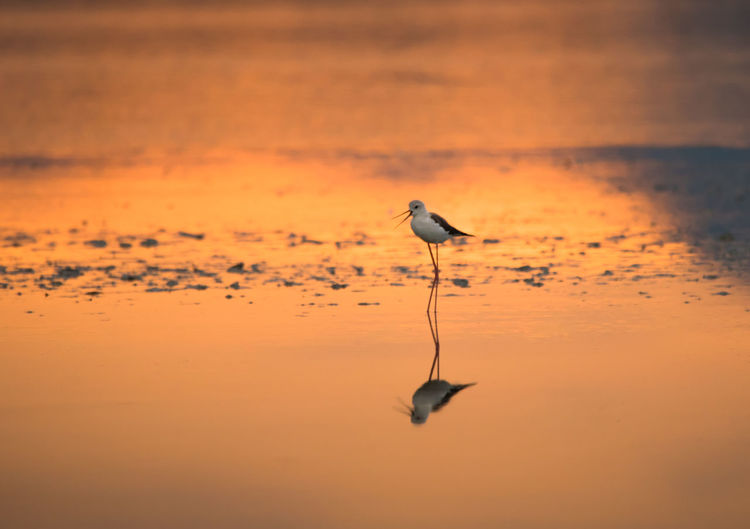 Black-Winged Stilt Foraging In Water With Reflection At Molentargius During Sunset