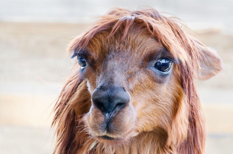 Close-up of alpaca