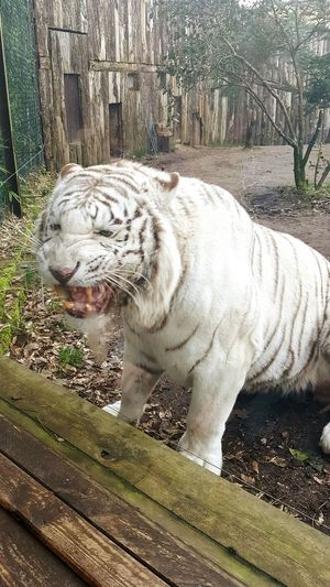 Zoo D'amneville Feline Animal Themes White Tiger Captive Animals Zoo Animals In Captivity