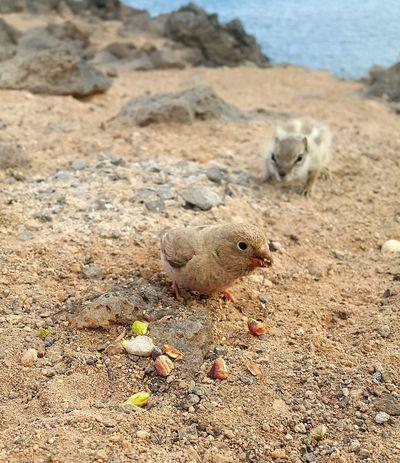 Bird Chipmunk Rocks Shore Shorelines Nature Canary Islands Fuerteventura Fuerteventura Coast EyeEm Selects Beach Sand Meerkat Sand Dune Desert Arid Landscape Young Animal
