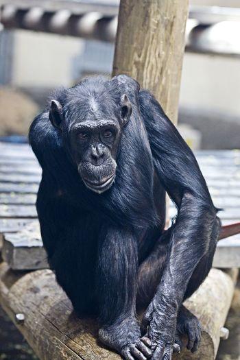 posing Primate