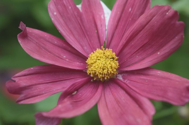 Flower Petal Beauty In Nature Fragility Nature Flower Head Freshness Growth No People Pollen Outdoors Close-up Blooming Day Pink Color Plant Cosmos Flower Osteospermum Garden Garden Photography