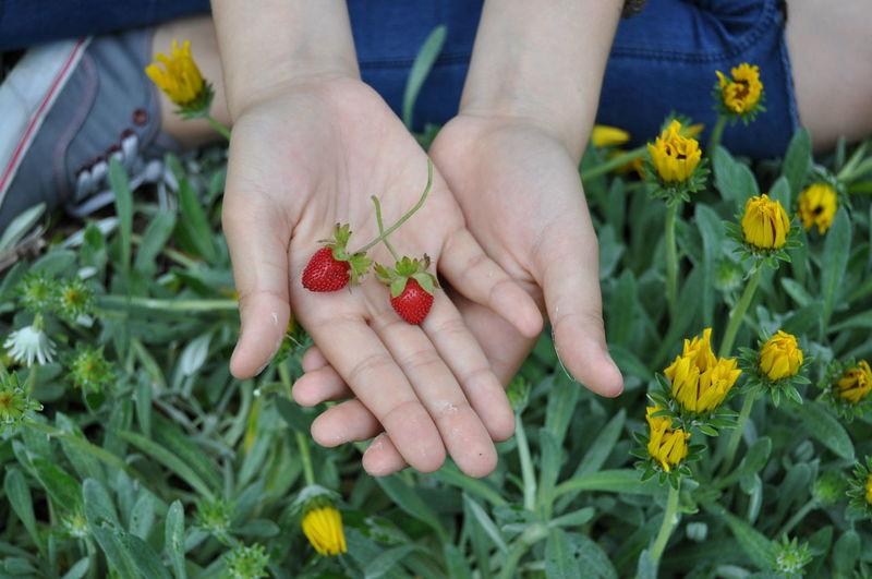 Nature Strawberries Fruit Hands Morangos Naturelovers