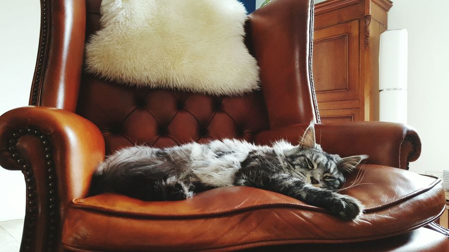 lazy day Maine Coon Cat Chesterfield English Style Pets Close-up Cat Domestic Cat Feline Home Showcase Interior Pet Bed Yellow Eyes At Home Kitten Sleepy