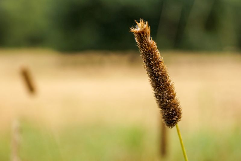 Close-up of cattail growing outdoors