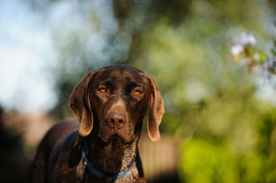 German Shorthair Pointer German German Shorthair Pointer  Gsp Animal Themes Canine Close-up Day Dog Domestic Animals German Shorthaired Pointer Looking At Camera Mammal Nature No People One Animal Outdoors Pets Photography Pointer Portrait Shorthair