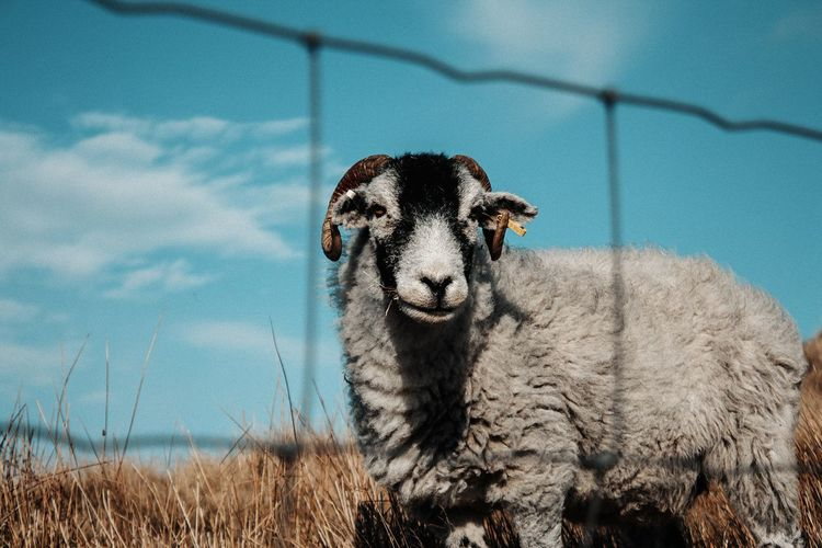 comment what you think!👌 Sheep Photography Animals In The Wild Animals Animal Animal Themes Moss Moss-covered Mossy Tranquil Scene Tranquility Tree Nature Beauty In Nature View Beauty Beautiful Stunning Trees Fence Portrait Sky Close-up Zoo Razor Wire Fence Cage Barbed Wire My Best Photo