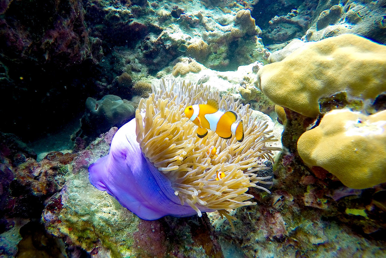 underwater, undersea, sea life, coral, animals in the wild, animal themes, clown fish, sea, water, sea anemone, symbiotic relationship, animal wildlife, no people, fish, nature, one animal, beauty in nature, swimming, close-up, outdoors, day