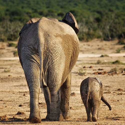 Rear view of elephant with calf walking on field