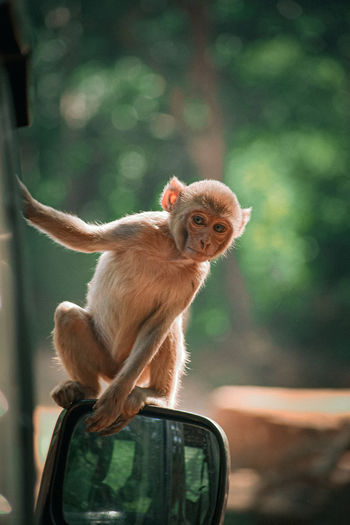 monkey looking forward sitting on the mirror of car with closeup shot