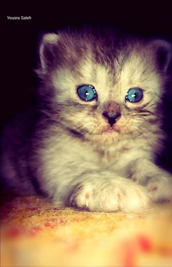 Newborn Kittens Baby Animals Newborn Kitten Kitten Domestic Animals Animal Hair One Animal Beauty Cat Pets Cute Cat 😻 Close-up Eyes Close Up Face Domestic Cat Open Eyes Catseye Pets Photography Cat Face Cats 🐱 Kitten 🐱 Beautiful Cat Cat Eyes Cat Lovers BlueEyes Blue Eyes 😻🐱🐈
