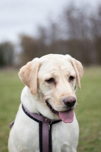#Labrador Animal Themes Dog Doglover Dogs EyeEm Best Shots Eyemdog Focus On Foreground No People One Animal Outdoors Pets Portrait VSCO Vscogood