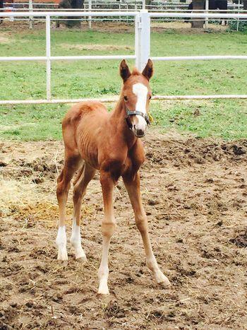 Little Horse Baby Horse Tay Farm