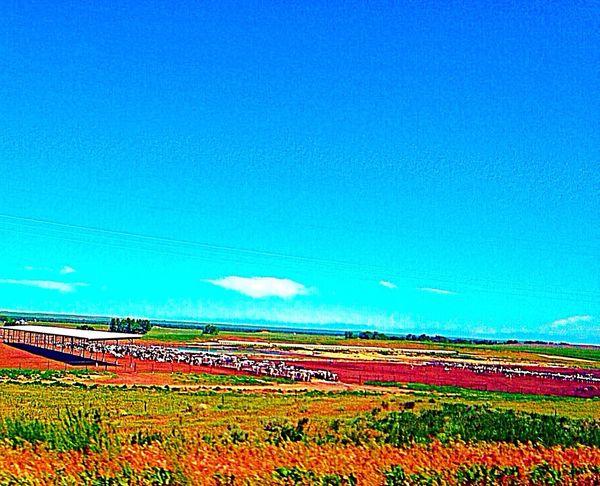 Cows Farm Nature Landscape