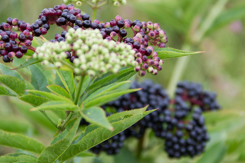 Differenz stadiums of ripe. Berries Berries On A Branch Black Berries Shallow Depth Of Field Berries And Leaves Close-up Day Freshness Growth Leaves Lush Foliage Nature Outdoors Plant Riping Unripe