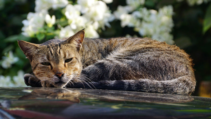 Cat Feline Animal Themes Mammal Animal One Animal Relaxation Pets Domestic Animals Domestic Cat Vertebrate Domestic No People Day Resting Selective Focus Close-up Portrait Whisker Eyes Closed  Winking Cat Catnapping Cat In Forty Wink